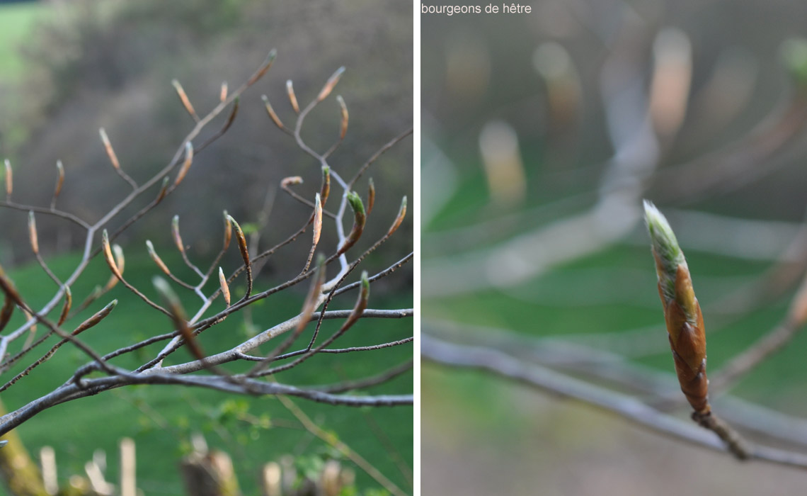 fleurs de prinptemps_bourgeons de hêtres