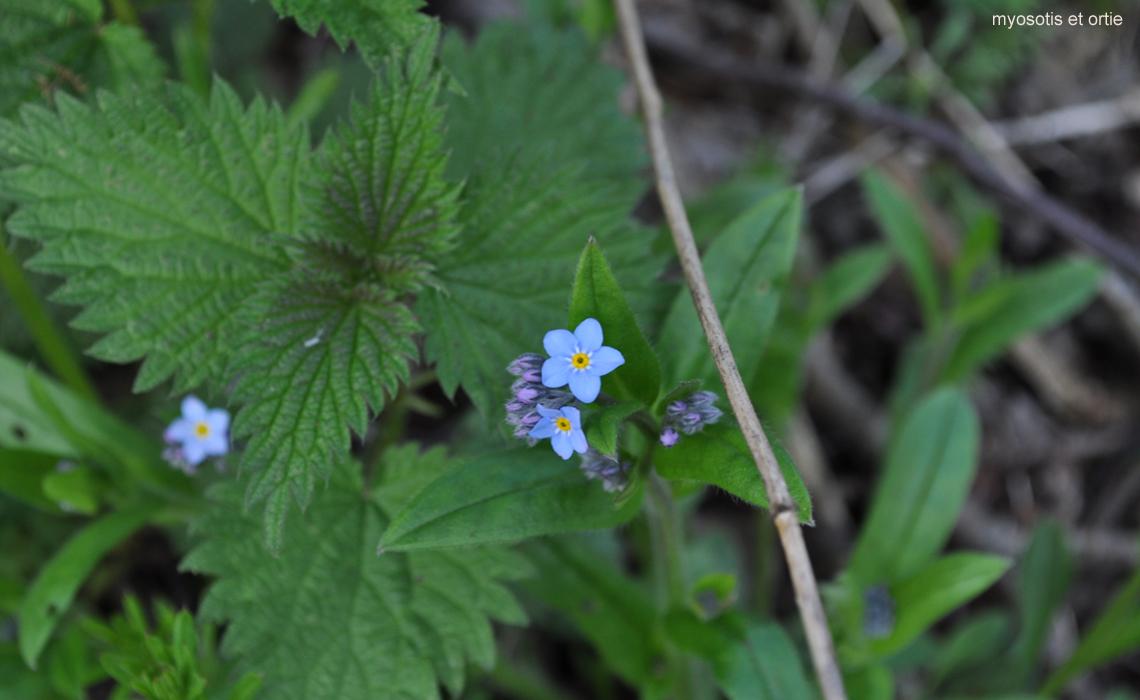 fleurs de prinptemps_myosotis et orties
