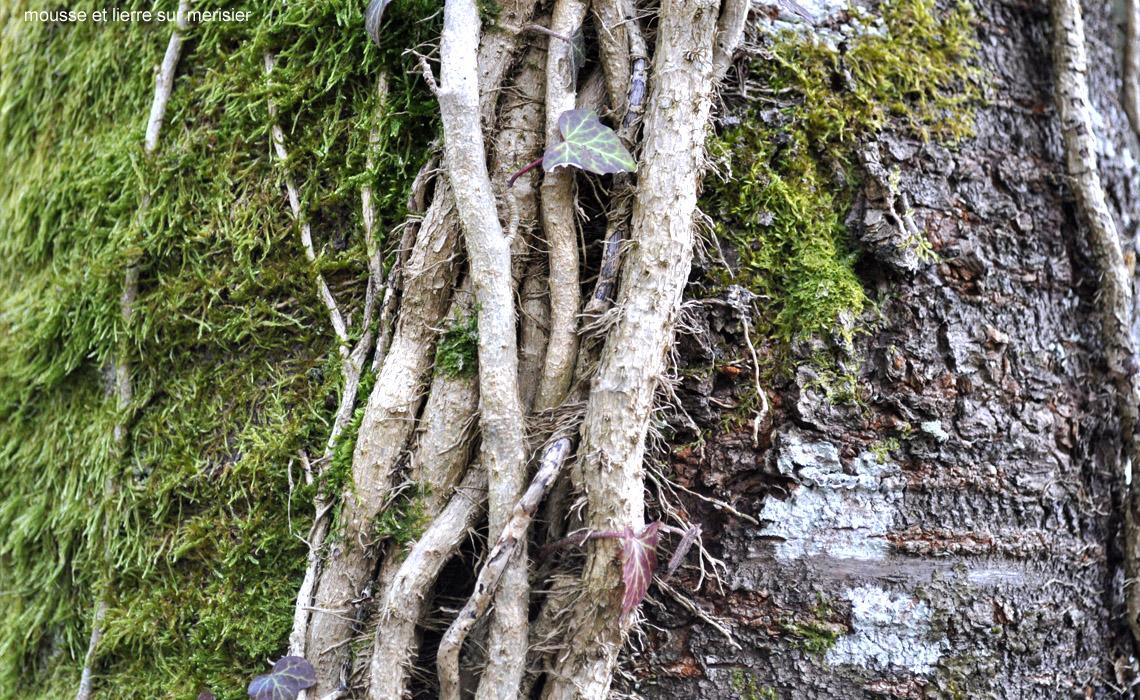 mousse et lierre sur merisier